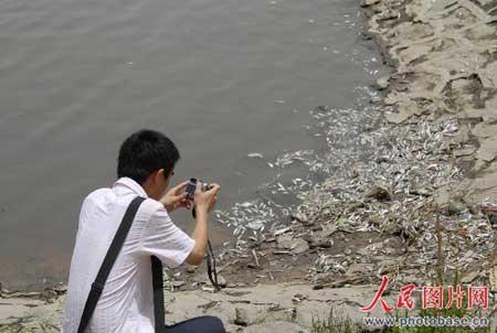 长江江苏镇江段发现大量死鱼(组图)