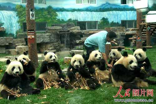 6月2日,北京动物园,来自四川地震灾区卧龙的8只奥运大熊猫享受美味食品。