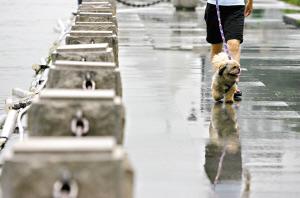 受连续降水和天文大潮影响,珠江水满漫过堤岸,一市民带着宠物狗到沿江的亲水平台玩耍。曹景荣 摄