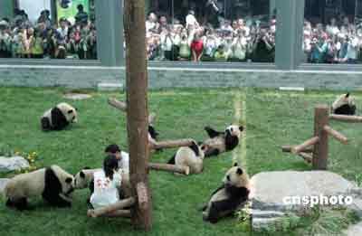 """八只卧龙""""奥运大熊猫宝宝""""在北京动物园的新家中以迥然不同的姿势接受爆满的观众""""检阅""""。中新社发 任晨鸣 摄"""
