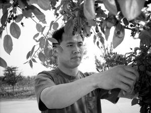 """陈瑞峰认真地修剪着这棵海棠""""丰盛""""。"""