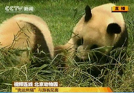 (电视截图)-奥运熊猫亮相北京动物园 观众过多或考虑分流