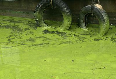 今年4月初,太湖南部水域就已开始生长蓝藻。CFP 图