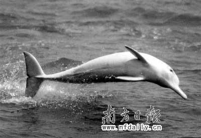 珠江口国家自然保护区的中华白海豚。资料图片