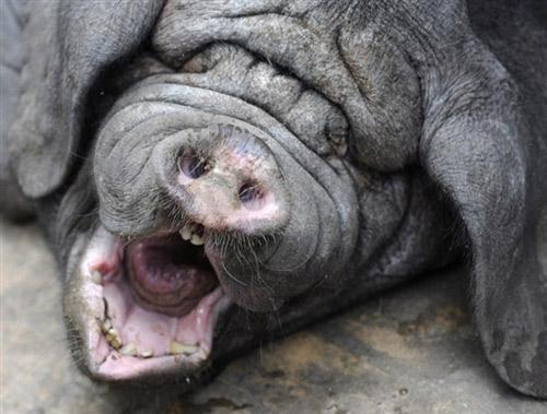 德国动物园里的梅山猪宝宝(组图)