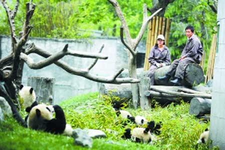 熊猫们躺在草地上悠闲地啃着竹子,而饲养员也像平时一样细心地看护着它们,地震前一切都平静如常。