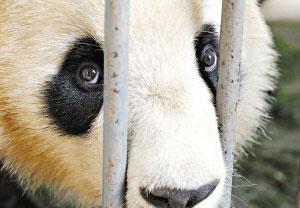 熊猫婷婷将于今日到广州休养,朝夕相处的伙伴即将离别。