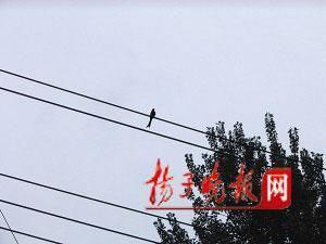这只鸟让吕启臣出门总是提心吊胆。 高峰 摄