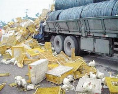 运载着上千只雏鸡的货车被撞毁 数百只雏鸡当场死亡