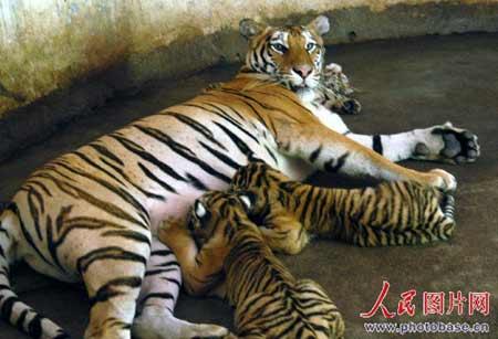 7月3日,在江西赣州森林动物园拍摄到东北虎与它的3只小老虎正在休息时