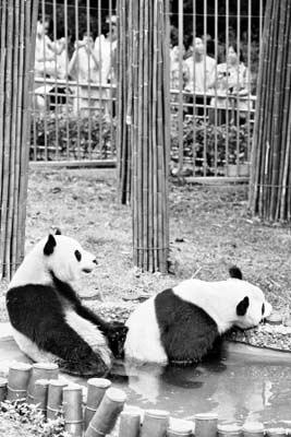 吃饱竹子后,两只大熊猫泡在水池里发呆。