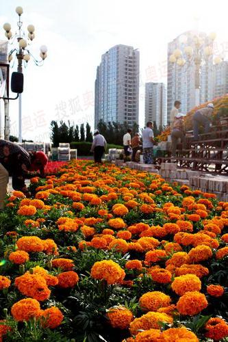 呼市的工人们正在用鲜花迎接奥运圣火的到来