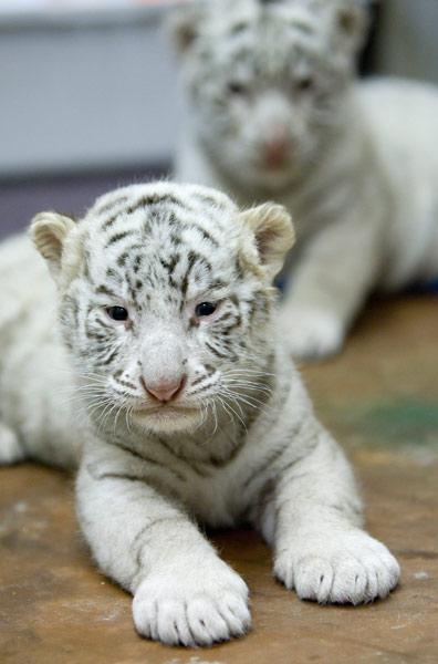 操白虎幼女_加拿大:没有妈妈喂奶的白虎宝宝(组图)