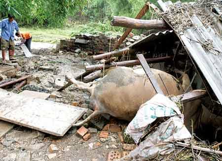 农户家的耕牛被淹死