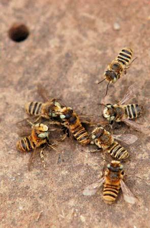 两群土蜂打架