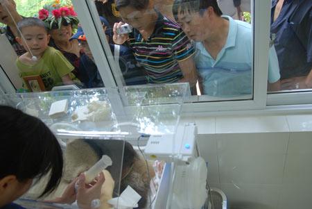 大熊猫幼仔在人工育婴房