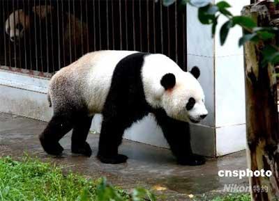 7月9日,生活在福州熊猫世界的四川卧龙地震灾区大熊猫悠然自得。6月24日,4只来自四川卧龙地震灾区的大熊猫转移到福州。中新社发刘可耕
