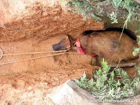 被困水牛从挖开通道救出