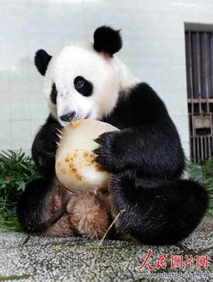 7月26日下午,在福州熊猫研究中心,来自卧龙的6号大熊猫在空调房里正抱着水果冰美美地啃着。