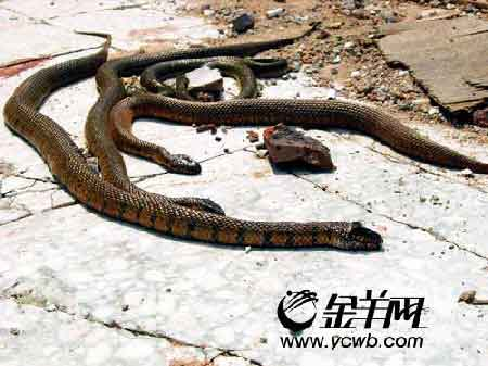偷拍操屄视频和囹�a�d%_珠海居民家中现6条大蛇 疑与被逼搬迁有关(图)