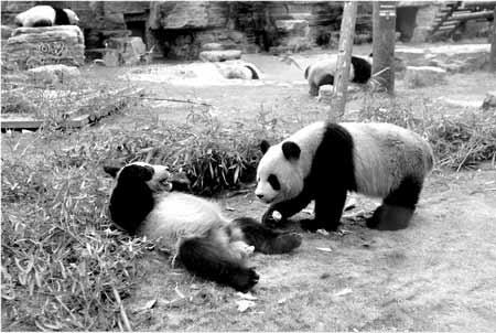 奥运熊猫在快乐玩耍 本报特派北京记者 杨怡 摄