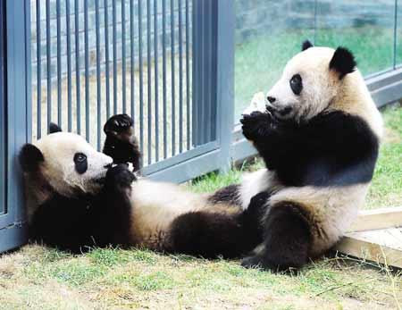 """""""奥运熊猫""""乐不思蜀 图片来源:东南快报"""