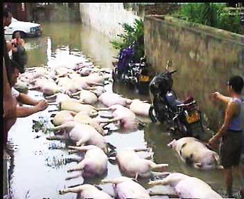 村民在水中抢救活猪(视频截图)