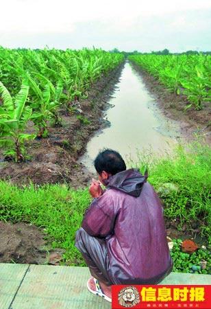 担心暴雨来袭,南沙蕉农昨天紧急排掉田里的积水。摄影 时报记者 朱元斌 实习生 朱德文