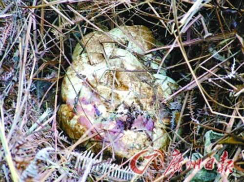 5米大蟒蛇与人 同居 筑窝育仔不吃鸡鸭图片