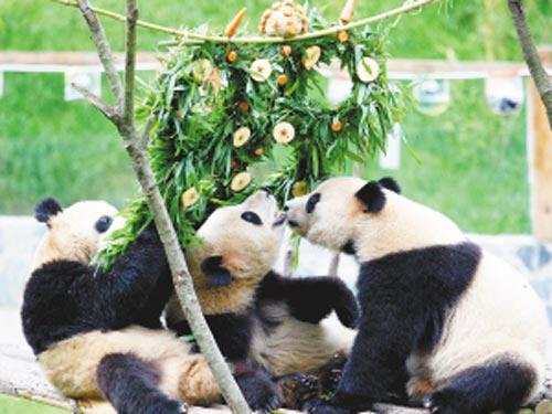 """大熊猫正享受""""奥运五环""""生日蛋糕"""