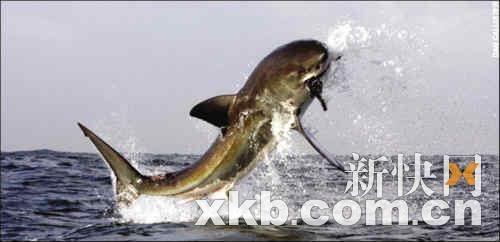 英国摄影师拍下海豹从鲨鱼口中逃生惊险场面(图)