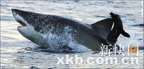 英国摄影师拍下海豹从鲨鱼口中逃生惊险场面(组图)