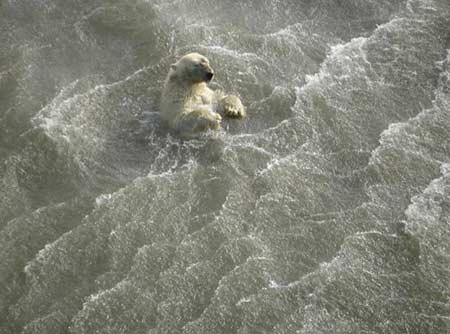 北冰洋中的北极熊,为登上日渐缩小的冰面,可能会精疲力竭而死。