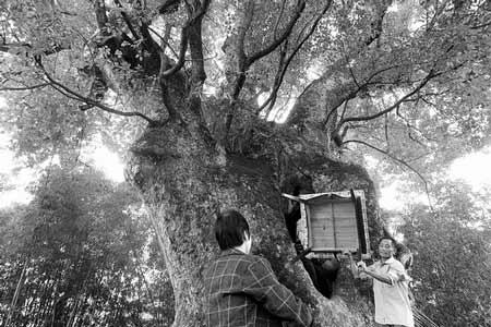 昨日,浏阳古港镇新园村,这棵胸径4.06米的千年古樟,树洞内可摆上一个麻将桌,当地居民正将麻将桌搬进去,他们说,在树中打牌的感觉特好。