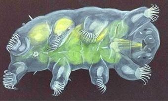 虽然1-2毫米大小,它们却是世界上生命力最顽强的物种