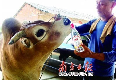 刘宗森给黄牛喂酒。