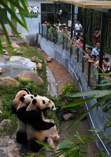 9月30日,广州香江野生动物世界的大熊猫站立起来争够饲养员递来的食物。