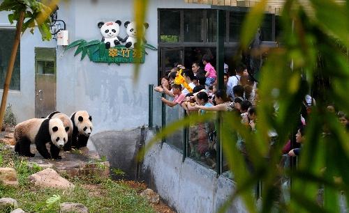 9月30日,游客在广州香江野生动物世界看大熊猫嬉戏。