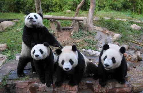 9月30日,广州香江野生动物世界的大熊猫在嬉戏。