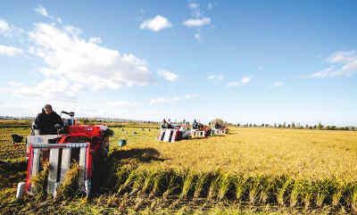 黑龙江省八五六农场工人近日在收割水稻。
