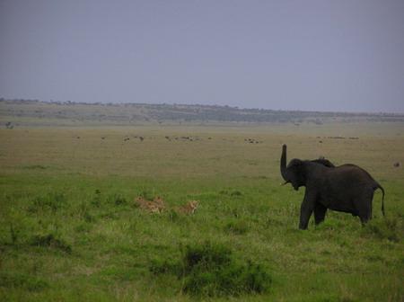 狮子 非洲象/草原上真正的霸主 非洲象猛追狮子赶犀牛(组图)