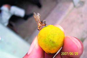 大实蝇成虫。(资料图片)