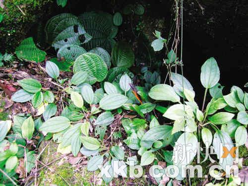 近处叶子稍小的为短茎异药花,远处叶子大的为虎颜花。