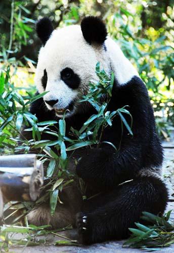 竹子简笔画大全_熊猫吃竹子图片简笔画-4832图片网;
