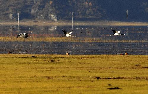 你知道香格里拉纳帕海是候鸟越冬乐园吗?