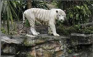 新加坡动物园清洁工惨遭白老虎咬死