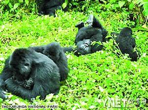 聚居区在维龙加国家公园内的世界最大山地大猩猩