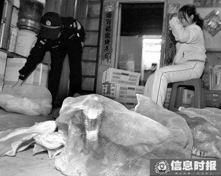 森林警方在东旺冻品市场检查发现多家档口非法贩卖眼镜蛇等国家保护动物。 信息时报记者 郑启文 摄