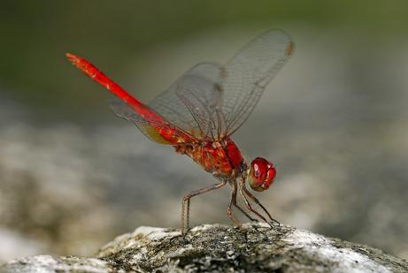 物种 热带 岛屿/红蜻蜓