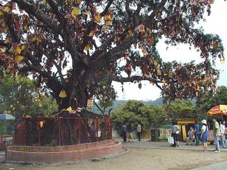 林村许愿树